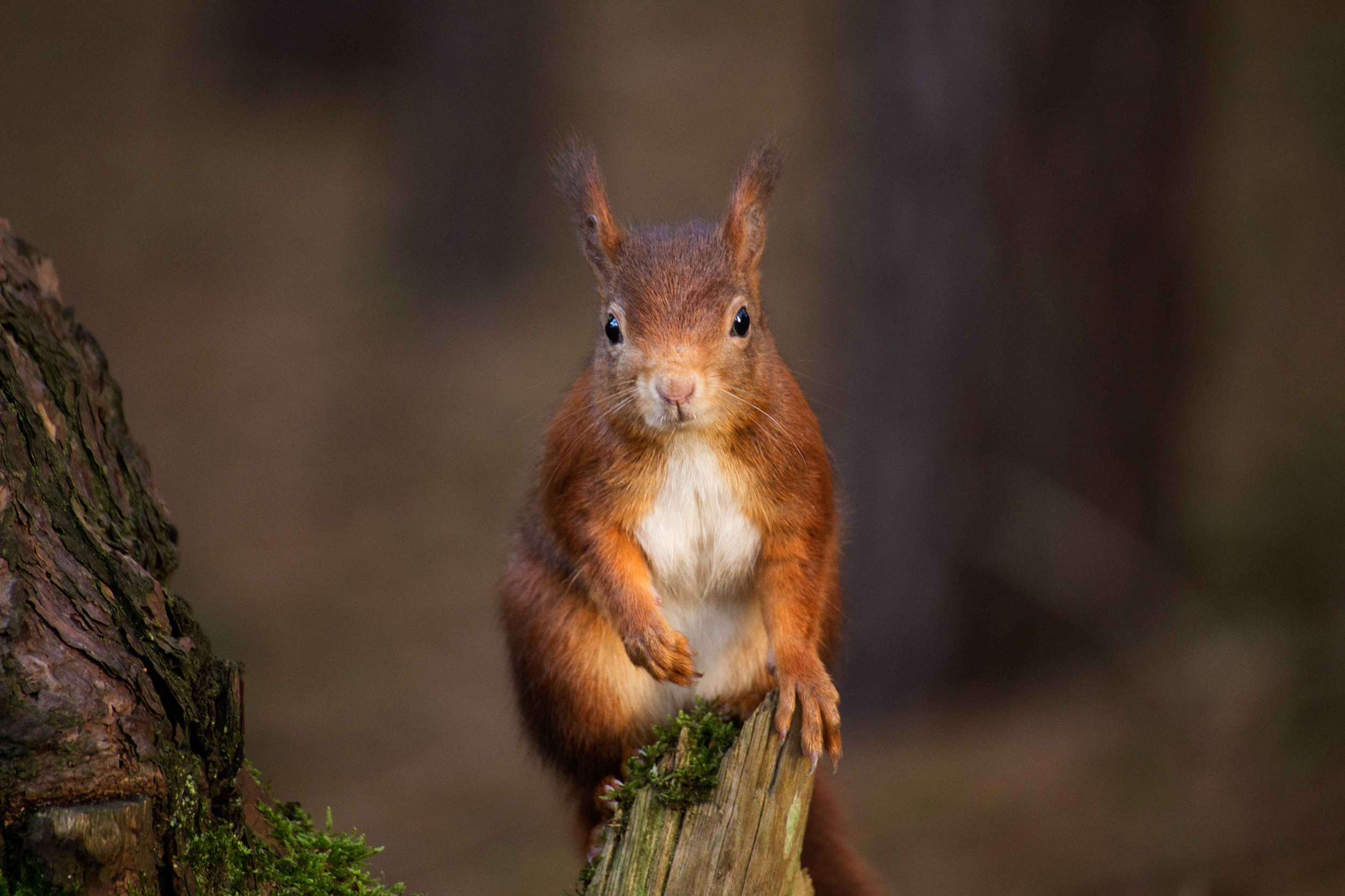 red squirrel formby forest