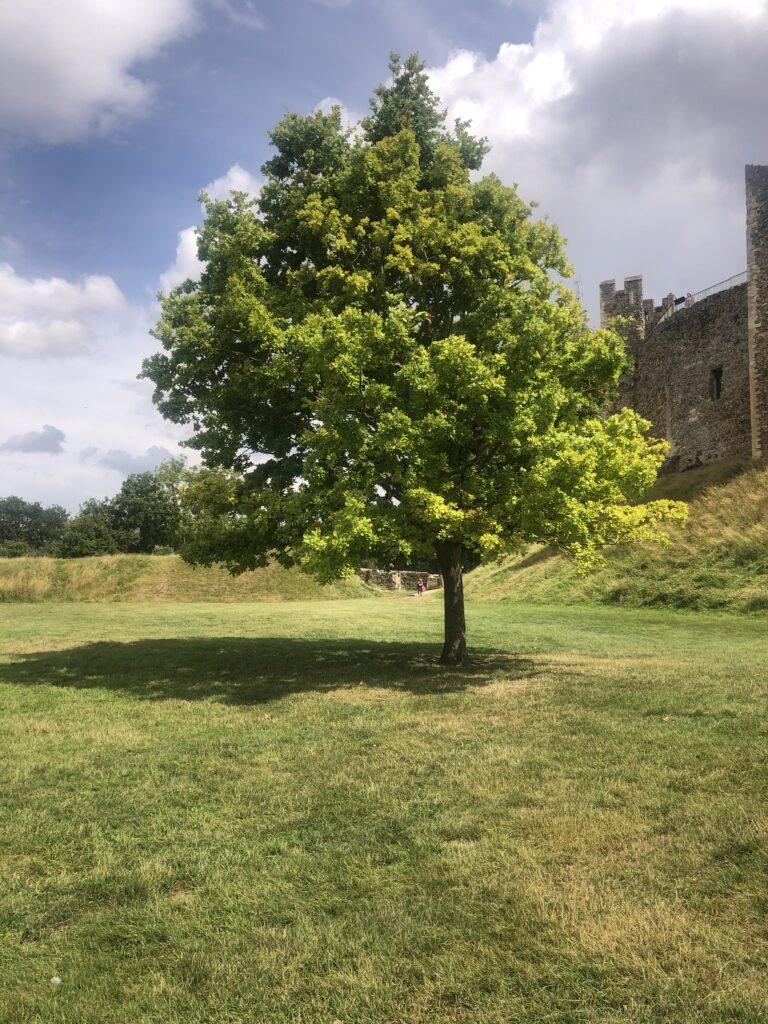 tree at framlingham